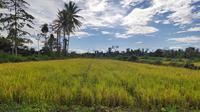 Masa panen raya sedang terjadi di berbagai daerah di Indonesia. Termasuk di lokasi cetak sawah baru di Desa Bente, Sulawesi Tenggara.