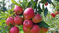 Terapkan jus apel yang dicampur dengan sedikit madu pada wajah Anda, biarkan kering dan bersihkan. Ini adalah masker hydrating wajah yang sangat baik. (AFP PHOTO/JANEK SKARZYNSKI)