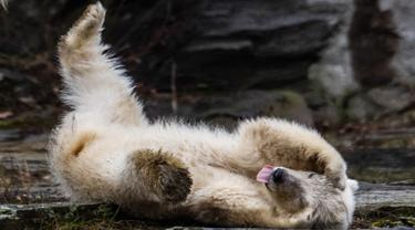 Bayi beruang kutub berguling-guling saat dipamerkan di Kebun Binatang Tierpark, Berlin, Jerman, Jumat (15/3). Bayi beruang kutub tersebut meninggalkan sarang pembiakan untuk pertama kalinya. (John MACDOUGALL/AFP)