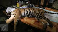 Harimau Sumatera usai menjalani operasi di Taman Nasional Batang Gadis, Sumut, Senin (30/11/2015). Harimau tersebut harus menjalani operasi karena kakinya terluka dan membusuk akibat terkena perangkap Rusa. (Foto: Ori Kakigunung)