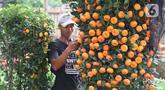 Pekerja menata jeruk kim kit di Meruya, Jakarta, Selasa (21/1/2020). Permintaan jeruk kim kit yang dipercaya membawa keberuntungan tersebut meningkat jelang perayan Tahun Baru Imlek 2020. (Liputan6.com/Angga Yuniar)
