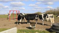 Peternakan Sapi Perah Penghasil Susu Organik di Denmark (Foto: Aditya Eka Prawira/Liputan6.com)