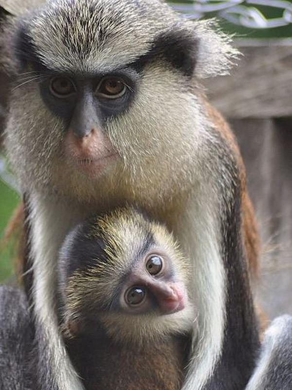 Ilustrasi Mona Monkey | Wikimedia Commons