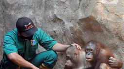 Penjaga kandang membelai Orangutan Sumatra (Pongo Abelii) di Taman Margasatwa Ragunan (TMR), Jakarta, Selasa (23/2/2021). Walau masih tutup akibat pendemi COVID-19, pelayanan terhadap satwa di TMR tetap berjalan setiap hari dan sesuai protokol kesehatan. (merdeka.com/Arie Basuki)