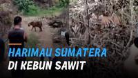 Nampak sejumlah warga mengabadikan momen Harimau Sumatera saat melintas di jalan perkebunan dari jarak yang cukup dekat.