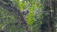 Seekor Owa Jawa berhasil diabadikan gambarnya di Taman Nasional Gunung Pangrango, bohor, Jawa Barat, (24/11). Yayasan Owa Jawa bersama  PT Pertamina EP juga melakukan konservasi bagi hewan yang terancam punah tersebut. (Liputan6.com/Herman Zakharia)