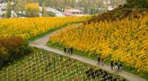 Orang-orang berjalan melewati kebun anggur di sebuah bukit di Konigswinter, kota yang terletak di dekat Bonn, Jerman barat, pada 25 Oktober 2020. (Xinhua/Tang Ying)