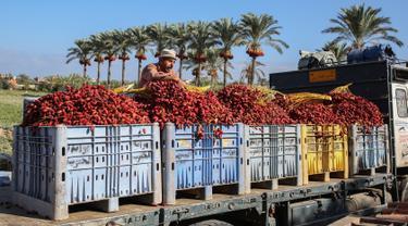 Seorang petani Palestina menyiapkan kurma yang baru dipetik untuk diangkut, selama panen tahunan di Deir al-Balah di Jalur Gaza tengah (24/9/2019). Warga Palestina yang tinggal di Deir al-Balah tengah sibuk dengan hasil panen kurmanya yang melimpah. (AFP Photo/Said Khatib)