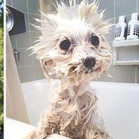 Menggemaskan, Anjing sebelum dan sesudah dimandikan | foto : Boredpanda.com