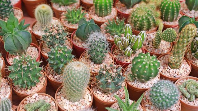 5 Manfaat Tanaman Kaktus Di Dalam Ruangan Baik Untuk Kesehatan Hot Liputan6 Com