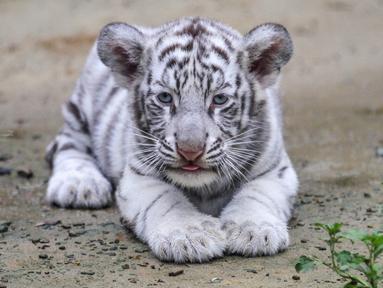 Seekor harimau putih atau harimau benggala terlihat di kebun binatang di Chittagong, Bangladesh (12/9). Pihak berwenang kebun binatang mengatakan harimau putih ini pertama yang lahir dan dibesarkan di kebun binatang Bangladesh. (AFP Photo/Habibur Rob)