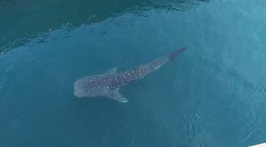 Hiu tutul atau hiu paus
