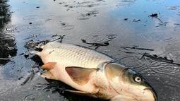 Bangkai ikan mengotori jalan-jalan di Aberdeen Golf Club setelah banjir surut menyusul Badai Florence di South Carolina, Senin (24/9). Beberapa dari ribuan ikan itu cukup besar dan juga menyebabkan jalan berbau menyengat. (Jason Lee/The Sun News via AP)
