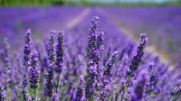 Bunga lavender. (dok. Pixabay/Pexels.com)