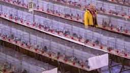Peternak memeriksa burung-burung merpati yang dipajang dalam kandang selama acara tahunan British Homing World Show di Blackpool, Minggu (20/1). Sekitar 15.000 orang berkumpul pada pertemuan peternak merpati terbesar di Inggris itu. (OLI SCARFF/AFP)