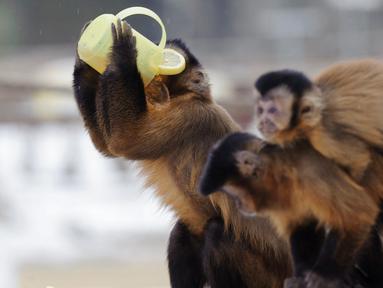 Seekor monyet capuchin meminum teh hangat di kebun binatang Debrecen, Budapest, Hungaria, Rabu (25/1). Pihak pengelola kebun binatang memberikan minuman hangat kepada para hewan untuk menghangatkan tubuh saat udara dingin. (Zsolt Czegledi/MTI via AP)