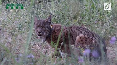 Seekor Lynx Iberia bernama Litio ditemukan di Spanyol usai dilepaskan pada 2016 di Portugal. Lynx Iberia adalah salah satu spesies yang terancam punah.