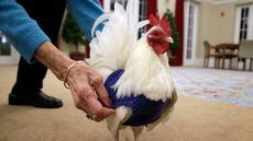 Seekor ayam jantan asal Malaysia, Prince Peep, mengenakan sweater di Fuller Village, rumah pensiun di Milton, Massachusetts, 8 Maret 2017. Sekelompok pensiunan membuatkan sweater rajutan untuk ayam agar mereka tidak kedinginan. (AP Photo/Steven Senne)