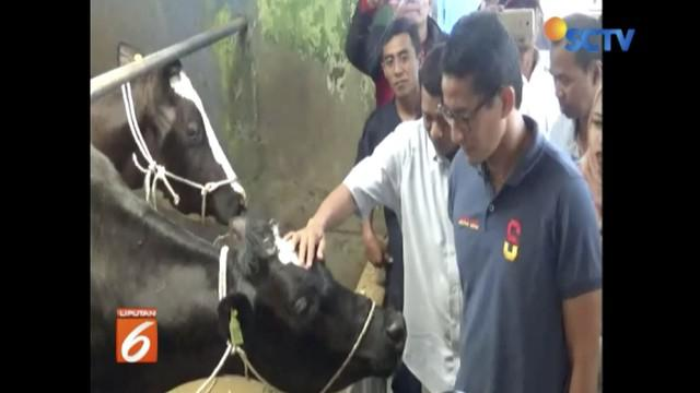 Temui peternak sapi dan petani apel di Pasuruan, Jawa Timur, Sandiaga Uno janji setop impor susu dan apel.