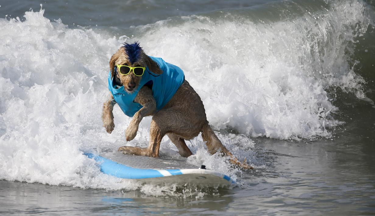 Seekor anjing berkompetisi dalam acara tahunan Surf City Surf Dog di Huntington Beach, California padaSabtu (25/9/2021). Para anjing menaklukkan ombak di atas papan surfingnya. (AP Photo/Ringo H.W. Chiu)
