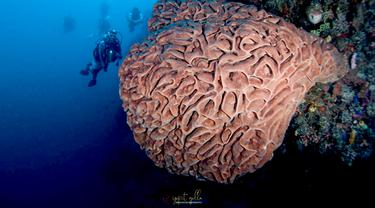 Keindahan Salvador Dali di bawah laut Pulau Monduli Boalemo. Foto: Yopit Jhoke (Arfandi Ibrahim/Liputan6.com)