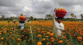 Pekerja yang membawa sekeranjang bunga marigold saat panen di Bali, Senin (21/9/2020). Umat Hindu di Indonesia sering menggunakan bunga Marigold saat berdoa sebagai persembahan. (AP Photo / Firdia Lisnawati)