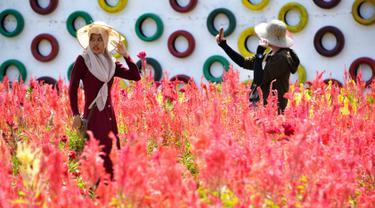 Pengunjung berjalan-jalan saat mengunjungi taman bunga celosia di Banda Aceh, Sabtu (13/7/2019). Taman seluas 2.500 meter persegi ini dihiasi bunga-bunga celosia berwarna-warni. (CHAIDEER MAHYUDDIN/AFP)