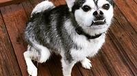 Anjing ras dari jenis ras pug dan ras husky (Sumber: Imgur/manykitties)