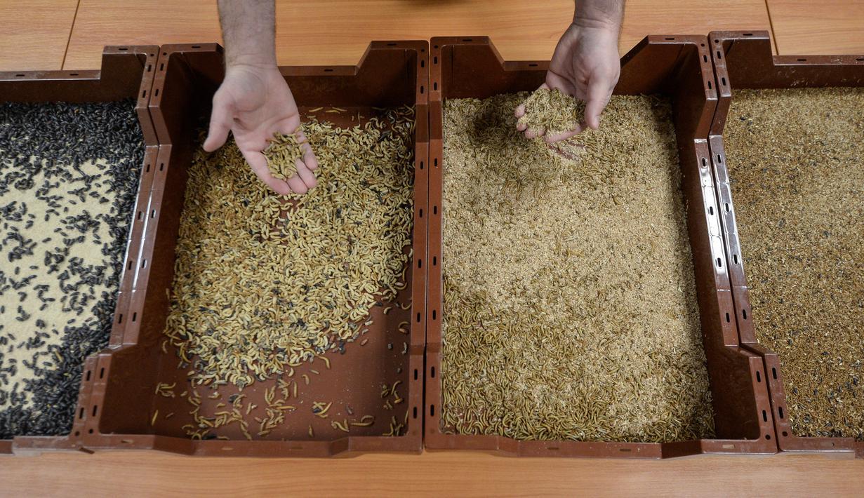 Seorang karyawan menunjukkan tahapan pertumbuhan ulat yang berbeda di peternakan serangga eksperimental Ynsect di Dole, Prancis (8/2). Tempat ini memproduksi protein premium dari bahan-bahan alami ulat. (AFP/Sebastien Bozon)