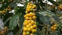 Kopi biji kuning menjadi salah satu komoditas kopi andalan Garut. (dok. Instagram @andrianto0110/https://www.instagram.com/p/BXDIMO-Be3o/Dinny Mutiah)