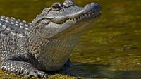 Hingga kini upaya pencarian bocah laki-laki berusia 2 tahun yang diseret alligator belum membuahkan hasil.