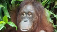 Bayi orangutan Fitri lahir di Taman Safari Bogor. (dok. Humas KLHK/Dinny Mutiah)