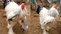 Sebuah video yang beredar di internet menunjukkan seekor ayam berukuran luar biasa besarnya membuat syok netizen.