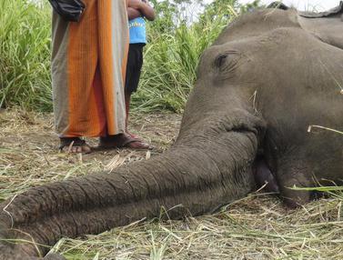 Keji, 4 Gajah Tewas Diracun di Sri Lanka