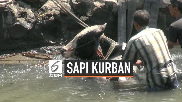 Seekor sapi kaget dan melompat ke sungai saat akan dibawa untuk kurban di Musala At-Taqwa di Simarang. Sapi melompat dari mobil yang membawanya karena kaget sejumlah anak berteriak. Petugas Damkar dan warga butuh waktu 3 jam mengevakuasi sapi.