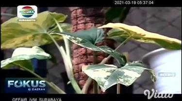 Tanaman hias yang satu ini mirip dengan aglaonema, karena masih berasal dari satu keluarga yang sama. Bedanya tanaman syngonium yang dibudidayakan Purnama Sari ini ukurannya lebih mungil.