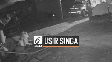 Sadar peternakan sapinya disusupi kawanan singa, seorang pria di India mengusirnya hanya dengan sebuah tongkat saja.