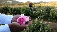 Seorang pekerja di pertanian Bin Salman memegang mawar Damaskena (Damask) di tangannya, yang digunakan untuk memproduksi air mawar dan minyak, di kota Taif, Saudi barat, pada tanggal 11 April 2021. Setiap musim semi, mawar mekar di kota Taif, Arab Saudi bagian barat. (AFP/Fayez Nureldine)