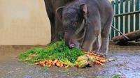 Covid, anak gajah di Taman Safari yang baru lahir akhir April 2020. (dok Taman Safari)