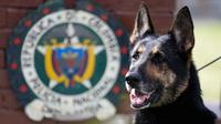 Anjing polisi ahli pengendus narkoba, Sombra berada di l uar kantor polisi di Bogota, Kolombia, 26 Juli 2018. Selain dipindahkan, kini Sombra juga didampingi beberapa polisi lainnya untuk meningkatkan keamanan dirinya. (AP/Fernando Vergara)
