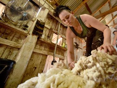 Seorang wanita bernama Emma Billet mencukur bulu domba di tempat pemotong bulu domba di New South Wales, Australia (21/2). Emma adalah wanita berusia 28 tahun yang berkerja sebagai pemotong bulu domba. (AFP/Peter Parks)