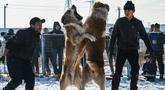 """Dua pria melihat anjing Alabay miliknya saat bertarung di Kota Bishkek, Kyrgyzstan (18/11). Sekitar 23 pemilik membawa anjing mereka untuk ambil bagian dalam acara pertempuran untuk gelar """"juara breed"""". (AFP Photo/Vyacheslav Oseledko)"""
