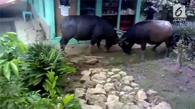 Dua ekor kerbau bertarung di tengah permukiman warga selama satu jam. Insiden terjadi di Sanggalangi, Sulawesi Selatan.