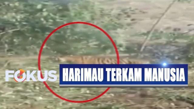 Konflik harimau dengan manusia diperparah dengan adanya illegal loging dan perburuan rusa dan babi hutan yang merupakan pakan harimau selama ini.