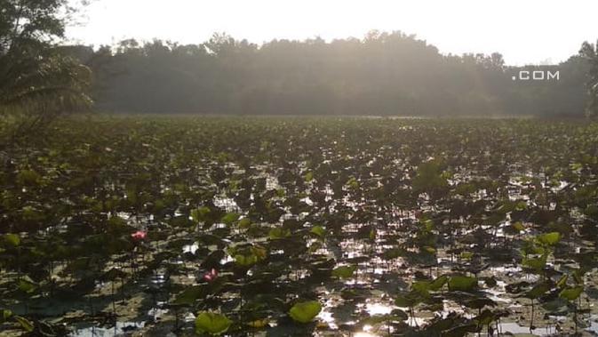 Teratai, Seroja atau Lotus dan ikan-ikan yang bersemangat mencari makan di pagi hari adalah energi Danau Sekupang. (foto: Liputan6.com / ajang nurdin)