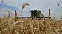 Ilustrasi tanaman gandum (AFP/Danil Semyonov)