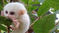 Tarsius leucistic yang ditemukan warga Minahasa. (dok. BKSDA Sulawesi Utara)