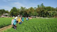 Gunakan Agens Hayati, petani Bojonegoro mampu atasi serangan WBC.