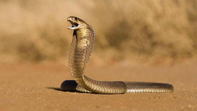 Pertolongan Pertama Digigit Ular Kobra