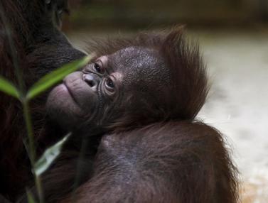 Bayi Orangutan Kalimantan